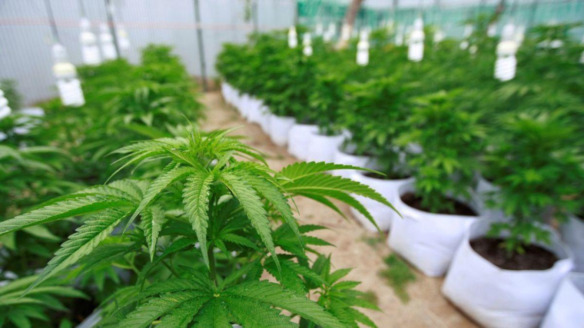 cannabis 1 e1562871459739